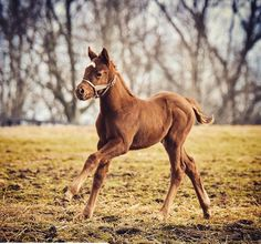 California Chrome's baby wants to be like His dad . 2018