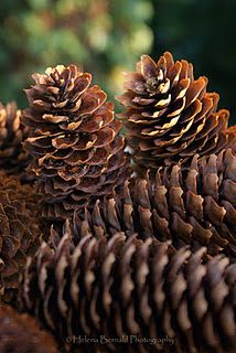 .always loved pinecones-so many different variations in different parts of the country. They look great in a basket or as part of a wreath too! Not sure why I'm drawn to them, but I am. dw