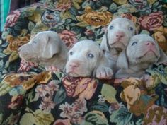 Chocolate Labrador Puppies For Sales Dogs and puppies