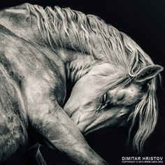 Arabian white horse portrait photography featured equine photography black and white animals  Photo