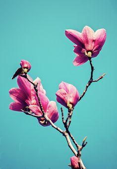 Pink Beauty Photograph - Pink Magnolia  by Svetlana Yelkovan #SvetlanaYelkovanFineArtPhotography #Magnolia #Flower #Pink #ArtForHome #FineArtPrints