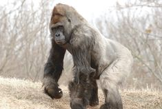Silverback Gorilla | Mountain Gorilla