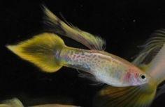 Yellow Cobra Speartail Guppy - Guppy Pro | Guppy Pro Tropical Aquarium, Tropical Fish, Aquarium Fish, Exotic Fish, Freshwater Fish, Fish Tank, Fresh Water, Patience, Animals