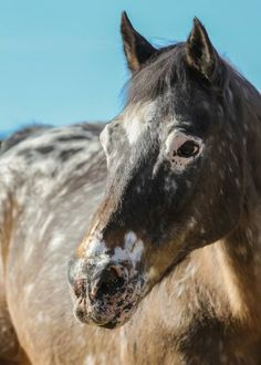 Image result for peacock spotting appaloosa