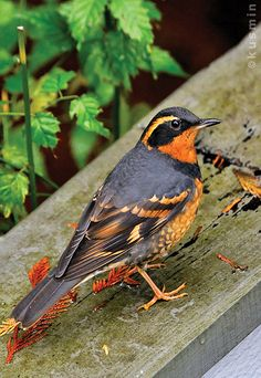 The Varied Thrush (Ixoreus naevius) of the thrush family Turdidae, breeds in western North America from Alaska to northern California.