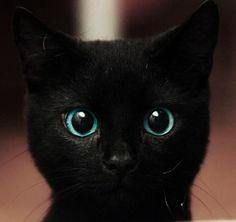 beautiful black cat with huge blue eyes