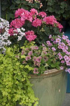 Growing Geraniums in Containers: Calibrachoa Cabaret Light Pink, Geranium Zonal Presto Pink, Lysmachia Goldilocks, petunia Limelight