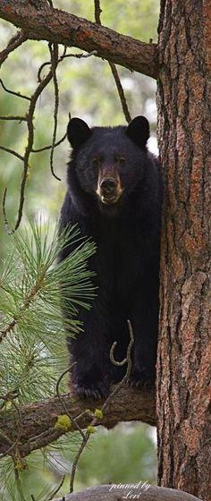 Schwarzbär in einer Kiefer - Mammals Bear Pictures, Animal Pictures, Beautiful Creatures, Animals Beautiful, Animals And Pets, Cute Animals, American Black Bear, Cute Bear, Mundo Animal