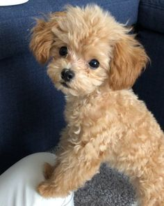 """Find out more info on """"Poodle pups"""". Browse through our internet site. Super Cute Puppies, Cute Baby Dogs, Cute Little Puppies, Super Cute Animals, Cute Dogs And Puppies, Cute Little Animals, Baby Puppies, Doggies, Teddy Bear Puppies"""