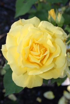 Friesia Orange, Yellow, Rose, Flowers, Plants, Pictures, Pink, Plant, Roses