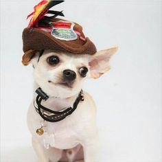 From @candicecandyyy #collarbuddies #cutechihuahua