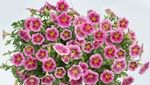 2014: Year of the Petunia 'Great Marvel Pink'