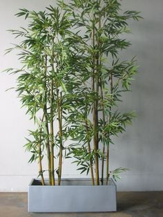 Bamboo in pots...for deck privacy