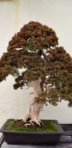 A VISIT WITH A 389 YEAR OLD BONSAI TREE - After Orange County