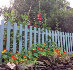 """Picket fence and hollyhocks: year 1 in Sarah Parry's garden, North Wales. Painted in """"seagrass"""" Cuprinol shades. Cuprinol Garden Shades, Small City Garden, White Picket Fence, Horizontal Fence, Hollyhock, Decks And Porches, North Wales, Travel Design, Outdoor Landscaping"""