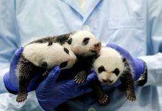 Baby panda triplets