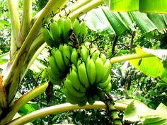 Escolher as árvores de um pomar: Bananas