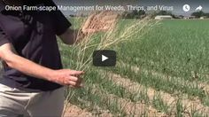 Onion Farm-scape Management for Weeds, Thrips, and Virus