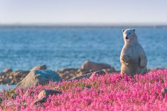 The capture of polar bear Playing in flower field Pictures Of Polar Bears, Bear Photos, Animals And Pets, Cute Animals, Champs, We Bear, Spirit Animal, Animal Kingdom, Animals Beautiful