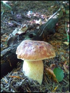#borowik_szlachetny #mushrooms #Boletus   Mushrooms