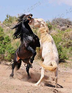 The Battle  Mustang Stallions