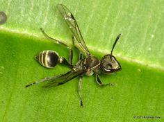 Wasp from Ecuador: www.flickr.com/andreaskay/albums
