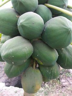 Papaya at farm! #Papaya #Farm
