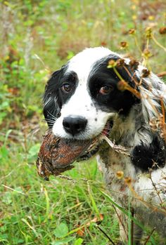 A spaniel fetches a bobwhite quail. #hunting #outdoors