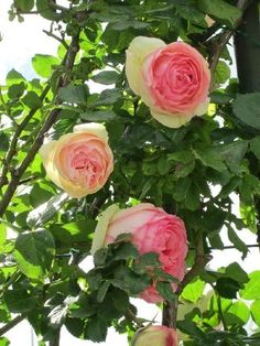 Rose diseases: recognize them and treat them: Certain diseases or parasites can attack your roses and compromise their flowering. Here is a small practical guide to recognize and treat rose diseases. Horticulture, Gardening For Beginners, Beautiful Flowers, Geraniums, Planting Herbs, Rose, Flowers, Garden Paving, Easy Garden