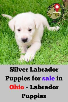 Silver Lab Puppies for sale in Ohio is the main search term by many people. But, different results appear scattered on different pages. Therefore, we made this complete list of top breeders in you....... #silverlabel #silverlaboftheday #silverlabsofinsta #silverlabsquad Silver Labrador Puppies, Silver Labrador Retriever, Labrador Puppies For Sale, White Labrador, English Lab Puppies, English Labrador, Red Lab, Silver Labs, Dog Training