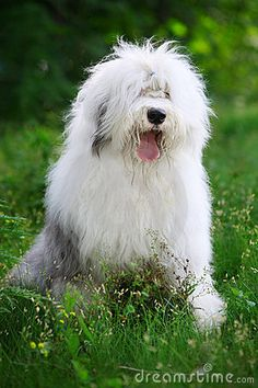 English Old Sheepdog - Download From Over 24 Million High Quality Stock Photos, Images, Vectors. Sign up for FREE today. Image: 6753277