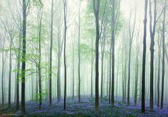 ベルギーの神秘の森 ブルーベルの花のじゅうたん - ViRATES [バイレーツ]