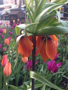 Fritillaria imperialis, tulips 'Perestroika,' and 'Purple Prince,' Old South Church in Boston. Copley Square, In Boston, Garden Plants, Tulips, Prince, Purple, Design, Tulip, Viola