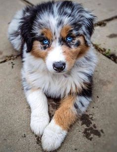 2316 Likes 28 Comments Australian Shepherd Cor Darcy Hunde Baby Animals Super Cute, Super Cute Puppies, Cute Little Puppies, Cute Little Animals, Cute Dogs And Puppies, Cute Funny Animals, Cute Dogs Breeds, Doggies, Cute Pets