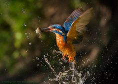 Caught in the act! This incredible shot of a kingfisher emerging with a stickleback was captured by Martin Cooper.
