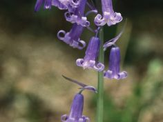 25 Perfect Plants for Fairy Container Gardens: Classic English Bluebells Fairy Garden Plants, Gnome Garden, Shade Garden, Shade Flowers, Shade Plants, Perfect Plants, Cool Plants, English Bluebells, Myrtle