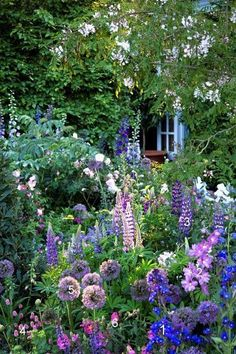 A climber gives height at the back, delphiniums height in the middle ground. Lupins echo the tall shapes of the delphinium as the eyes moves down and alliums fill in the spaces below.
