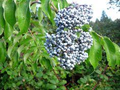 Blue Elderberry   sambucus caerulea  (Full Sun, White spring flowers; showy dark blue fruit, 6-12')