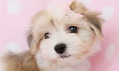 havanese teacup | havanese puppies for sale at teacups puppies and boutique havanese ...