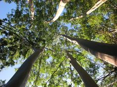 Eucalyptus trees are tall, evergreen trees and are well known for the Eucalyptus oil that is extracted from their leaves. Read on to know more about this tree. Flowering Trees, Trees And Shrubs, Bedroom Pictures, Bedroom Pics, Eucalyptus Tree, Evergreen Trees, Tropical Flowers, Garden Tools, Flora