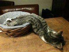 ネコのゲル状化現象