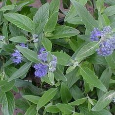 73 best flowers bushes shrubs zone 5 images on pinterest gardening dark knight dark knight small deciduous shrub like perennial to 3 feet with dark green mounded habit deep purple flowers from july to frost mightylinksfo