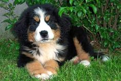 Bernese Mountain Dog puppy   -   Makes me miss my Berner, Donnie!  He was such a sweet dog, even though he really looked more like a bear :)