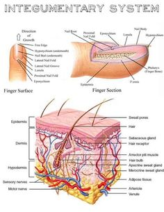 Inside out anatomy the integumentary system pinterest anatomy message ccuart Image collections