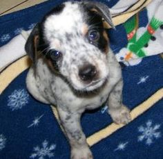 Petango.com - Meet Nitro, 5y Terrier, Jack Russell / Australian Cattle Dog available for adoption in YOUNGSVILLE, LA