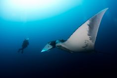 Photograph Encounter with a Manta by James Reynolds on 500px