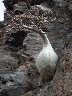Incredible trees of Socotra Islands, Yemen - Unusual Plants, Rare Plants, Exotic Plants, Cool Plants, Socotra, Cacti And Succulents, Planting Succulents, Planting Flowers, Unique Trees