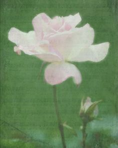 Pale Pink Roseblank notecardunique giftsummer by EyeLuvPhotography, $3.00