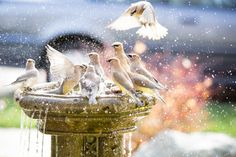 #Bath time... by Jessica Holden  ♥ ★ ❥★ ❥ #cedarwaxwing #birds #fountain #splash #waterdrops #photography #style #inspiration