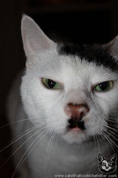 Cat That Looks Like Hitler!
